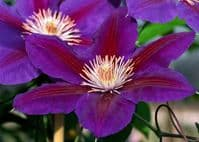 Clematis ANNA-LOUISE Evithree